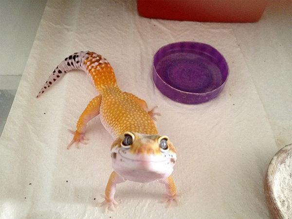 оранжевая-ящерица