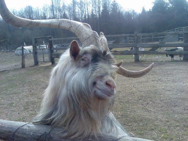фотогеничный козел